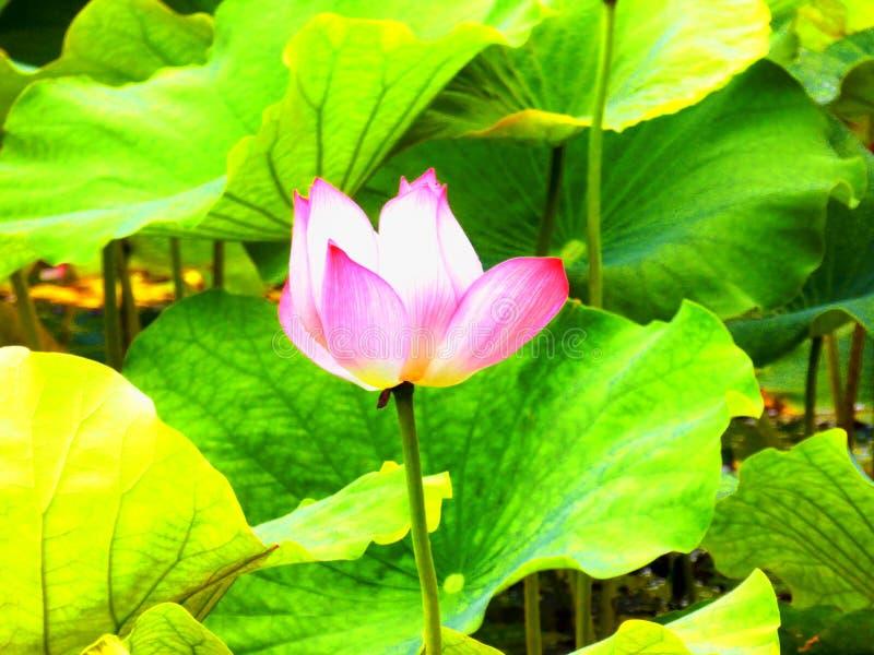 Flor de Lotus que floresce dentro do jardim de Guyi fotos de stock