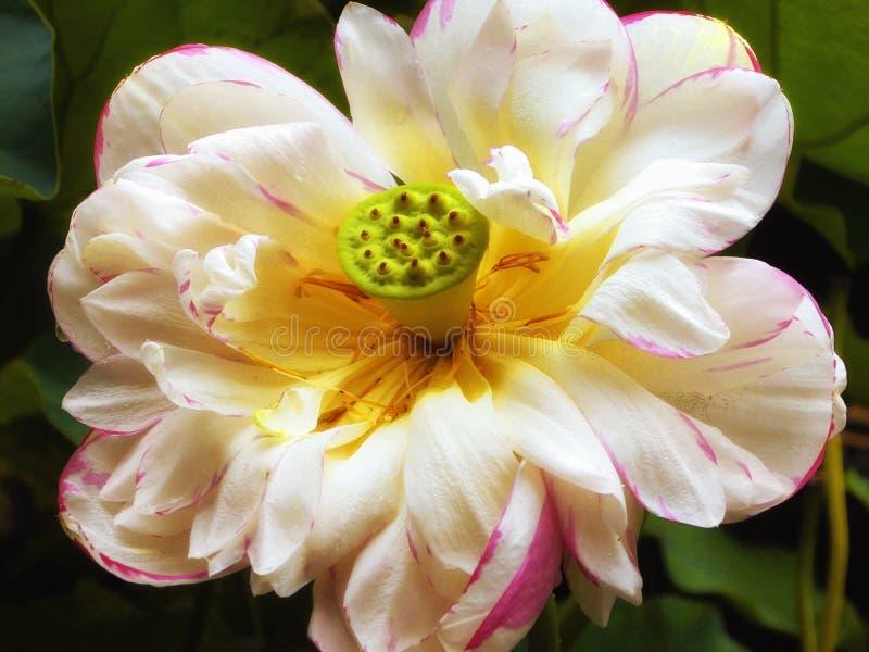Flor de Lotus que floresce dentro do jardim de Guyi imagem de stock