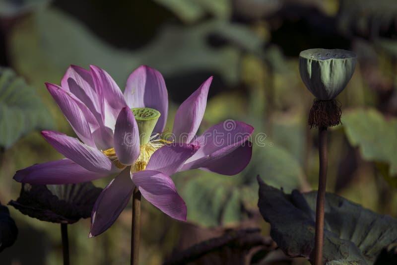 Flor de Lotus que floresce no jardim botânico de Taipei fotografia de stock