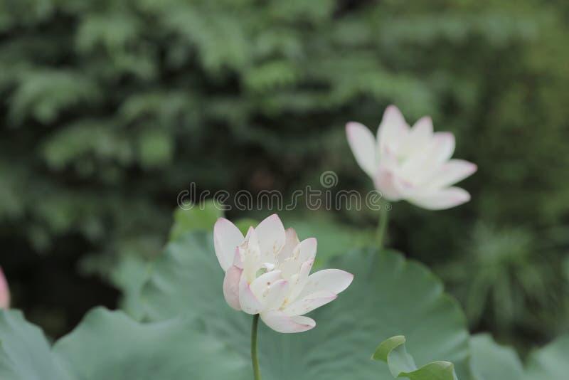 Flor de Lotus y plantas de la flor de Lotus fotos de archivo