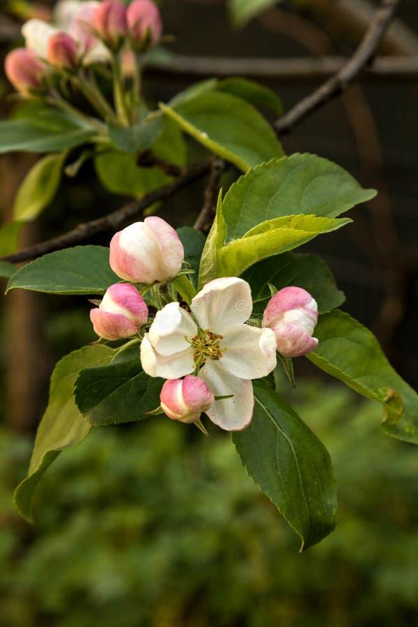 Flor de maçã Jardim da primavera foto de stock royalty free