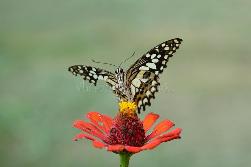 Flor de mariposa imagen de archivo