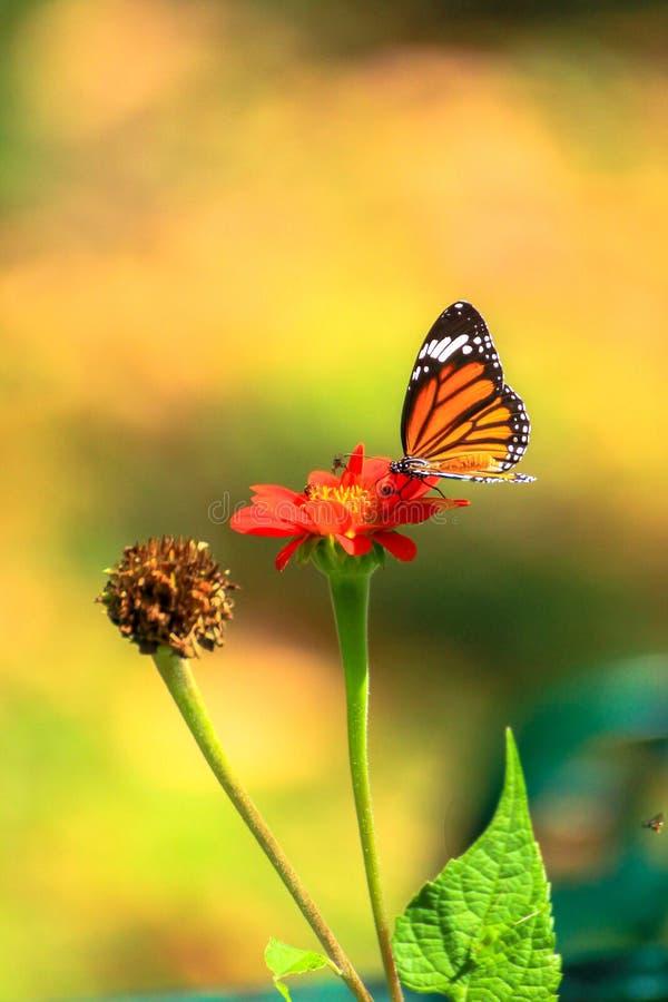 Flor de mariposa imagen de archivo libre de regalías