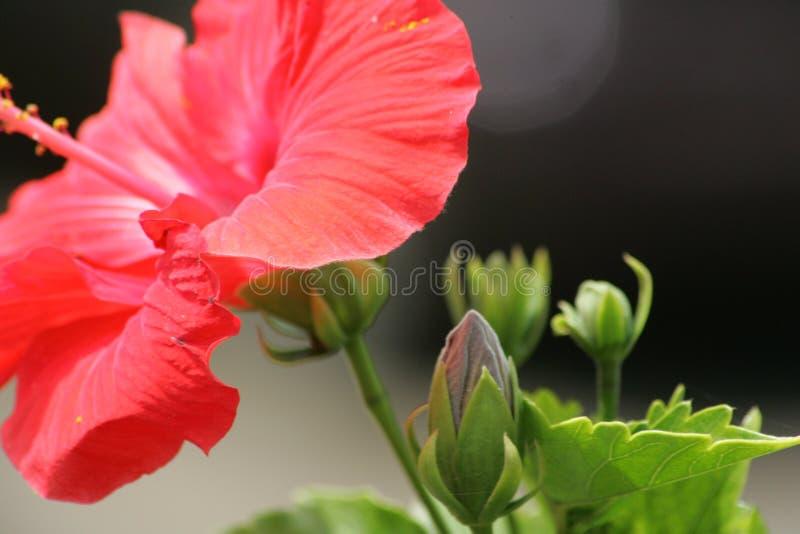 Flor de Maui fotos de archivo libres de regalías