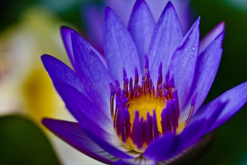 Flor de Maui fotografia de stock royalty free