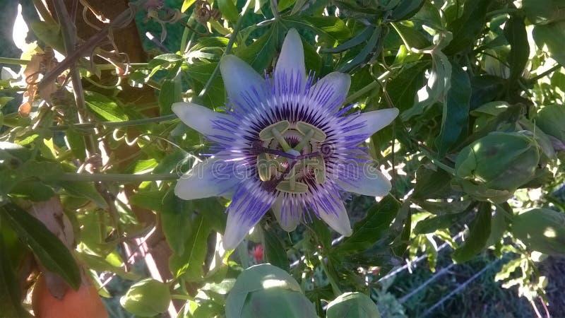 Flor de Mburucuya foto de archivo