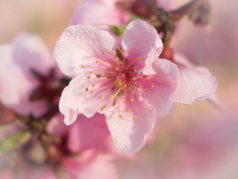 Flor de melocotonero lurar gotitas de agua arkivbild