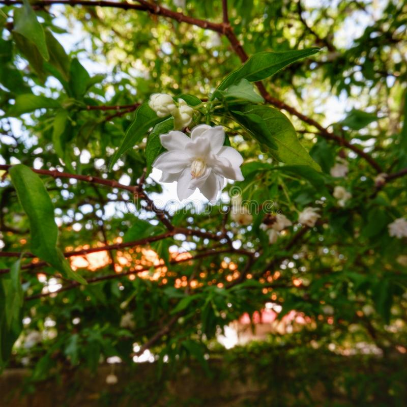 Flor de Mok foto de stock