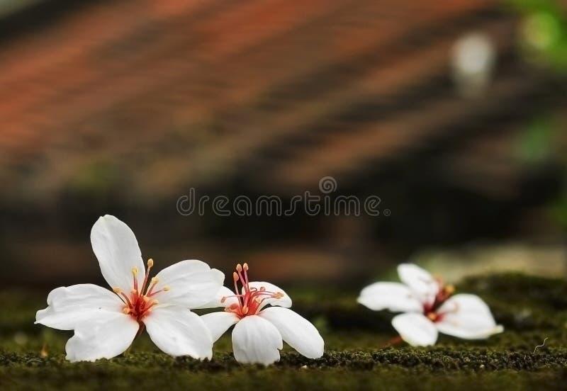 Flor de Montana del Aleurites, mezcla blanca con la parte posterior agradable imagen de archivo libre de regalías