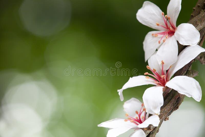 Flor de Montana do Aleurites fotografia de stock royalty free