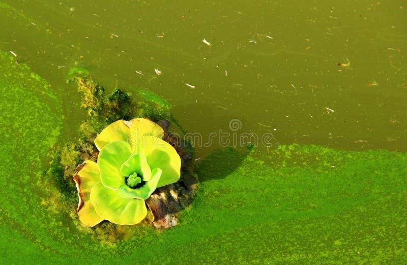 A flor de morte flutua no rio do poluente foto de stock royalty free