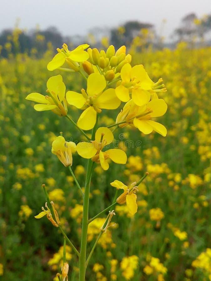 Flor de Muatard imagem de stock