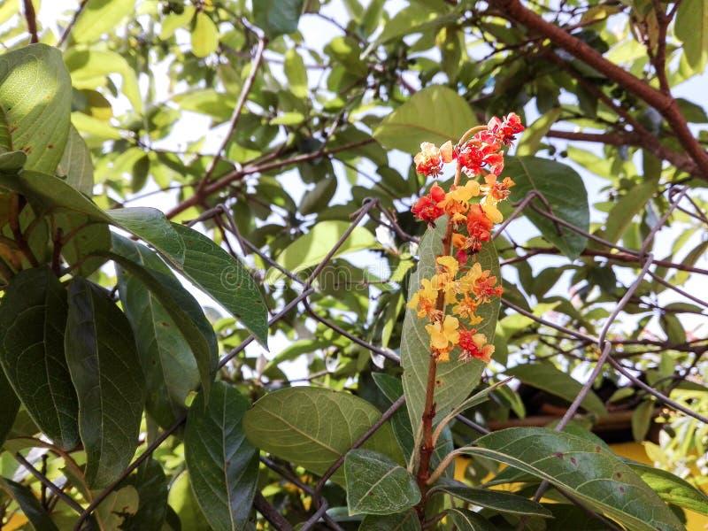 Flor de Nance imagen de archivo