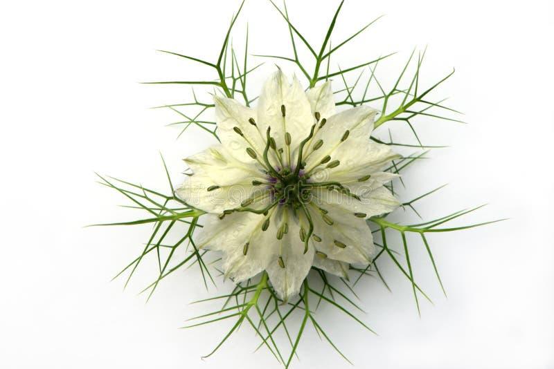 Flor de Nigella en un fondo blanco imágenes de archivo libres de regalías