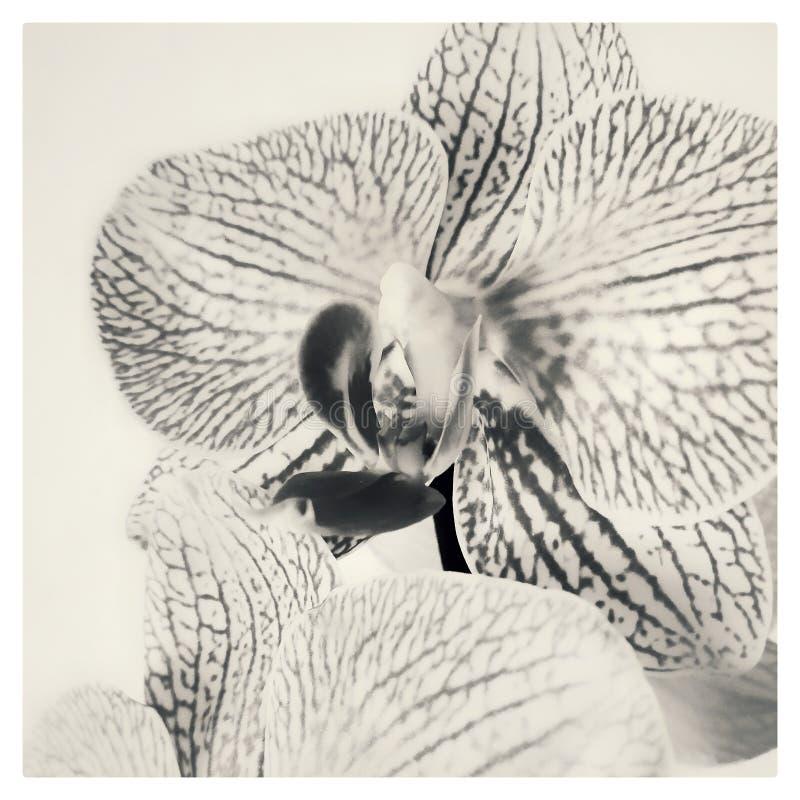 Flor de Orchidea fotos de stock