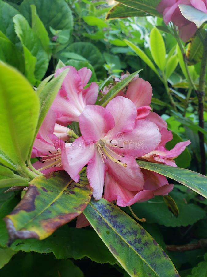 Flor de Oregon de los acres de la orilla foto de archivo