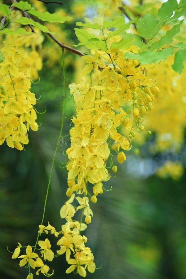 Flor de oro de la ducha imagen de archivo