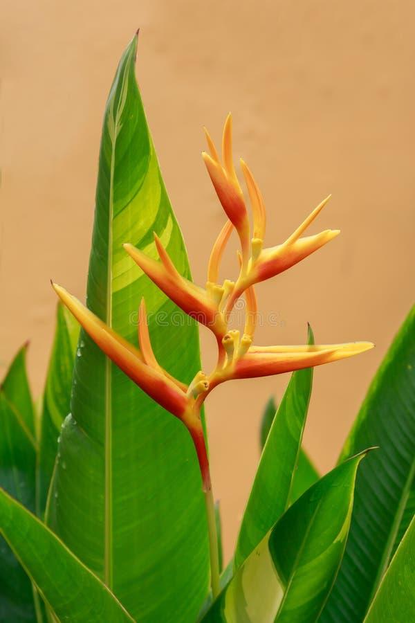 Flor de oro de la antorcha de Heliconia fotos de archivo