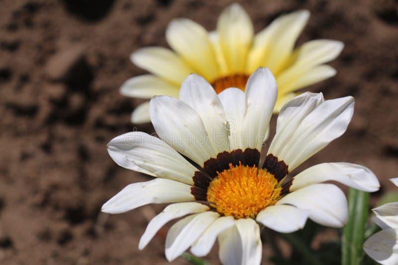 Flor de Osteospermum Macro Flor grande fotografía de archivo libre de regalías