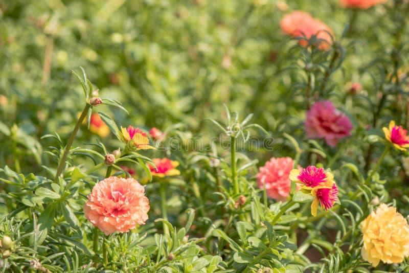 Flor de Paisley, oleracea de Portulaca fotos de archivo libres de regalías