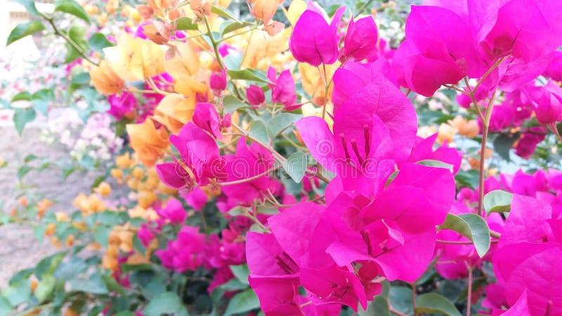Flor de papel Plantae dos SPP da buganvília foto de stock