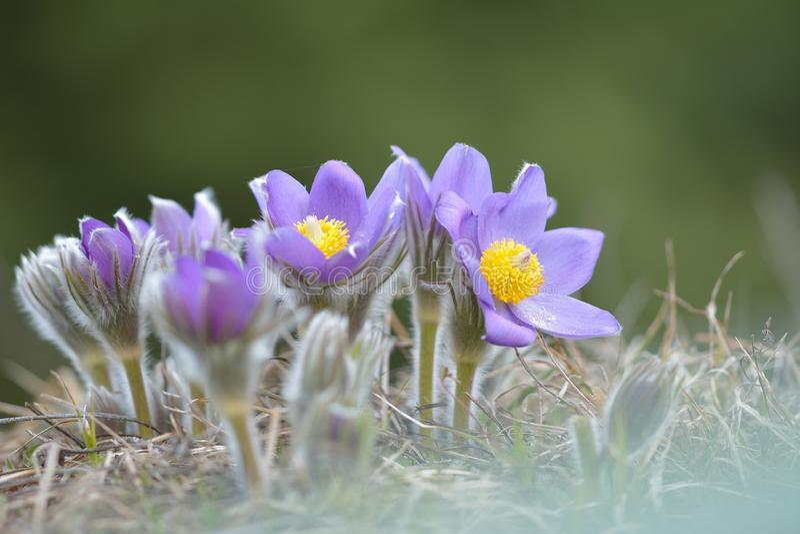 Flor de Pasque da montanha fotos de stock