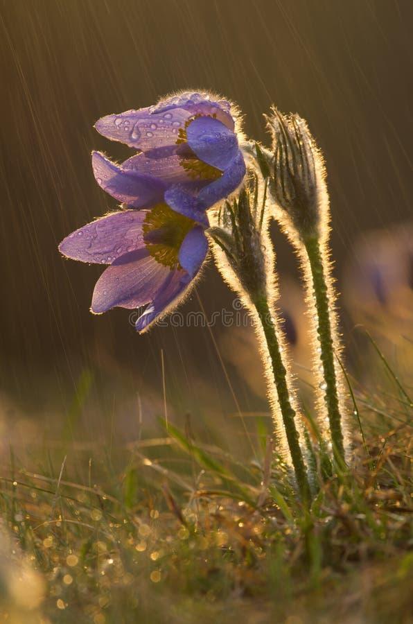 Flor de Pasque durante a chuva do por do sol fotos de stock royalty free