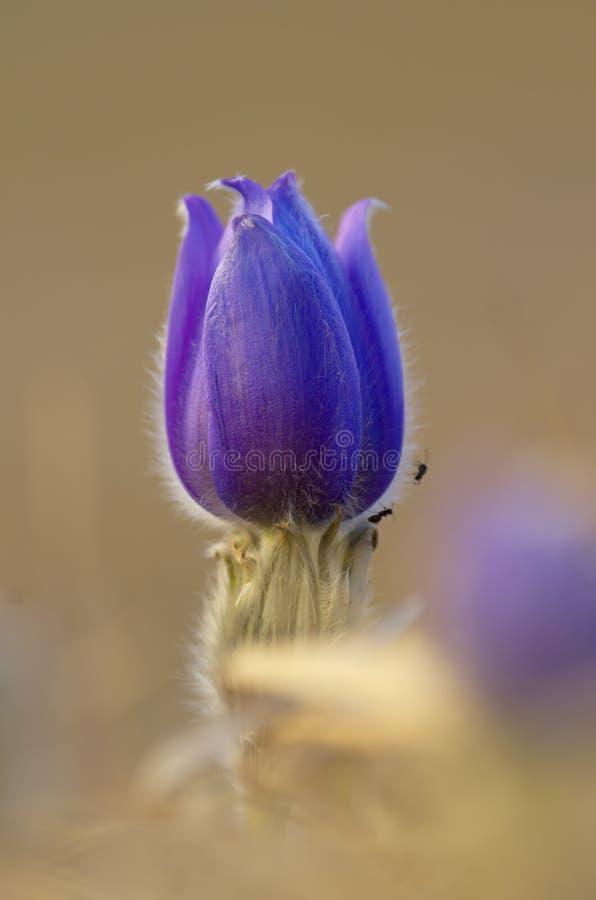 Flor de pasque vividamente colorida foto de stock royalty free