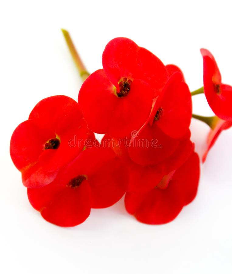 Flor de pavão alaranjada bonita que floresce, flor de pavão isolada no pulcherrima branco do backgroundCaesalpinia imagem de stock