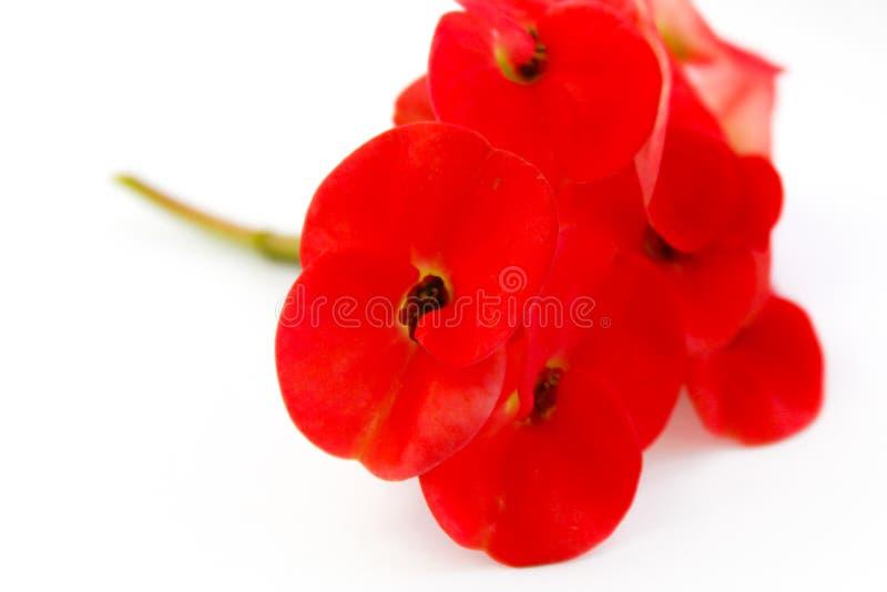 Flor de pavão alaranjada bonita que floresce, flor de pavão isolada no pulcherrima branco do backgroundCaesalpinia imagens de stock