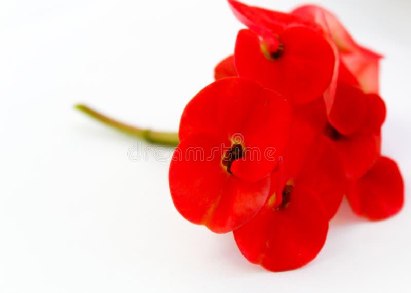 Flor de pavão alaranjada bonita que floresce, flor de pavão isolada no pulcherrima branco do backgroundCaesalpinia foto de stock