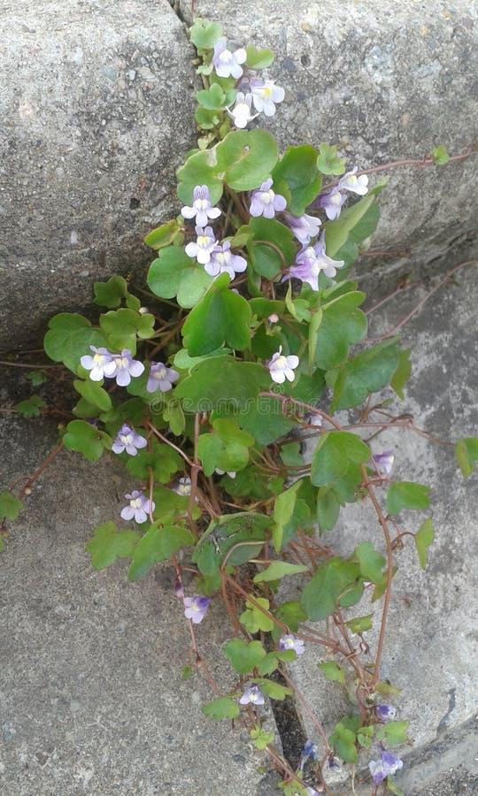Flor de Pavment imagens de stock royalty free