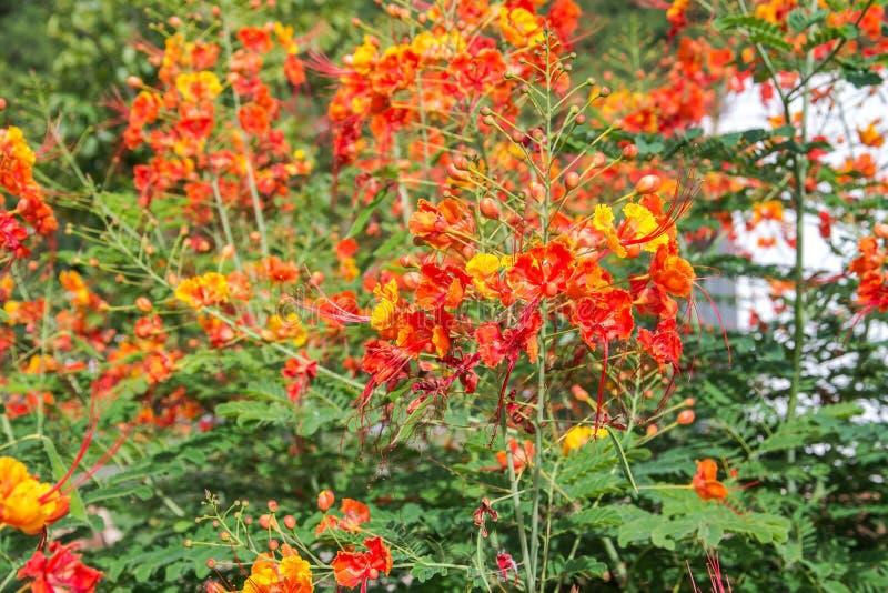 Flor de pavo real colorida de la belleza foto de archivo libre de regalías