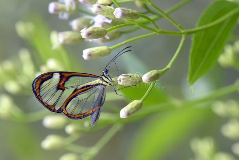 Flor de polinización de la mariposa transparente imagenes de archivo