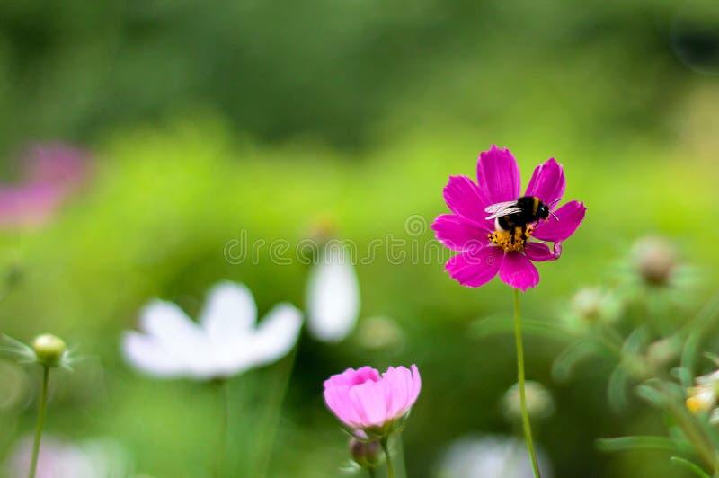 Flor de polinización de la abeja hermosa del fondo fotos de archivo libres de regalías
