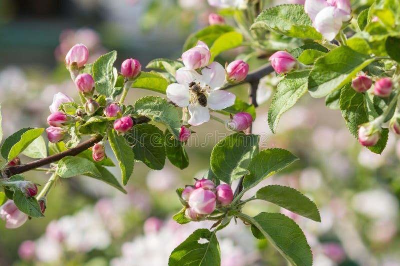 Flor de polinizaci?n de la manzana de la abeja de la miel Las floraciones del manzano Apenas llovido encendido fotografía de archivo