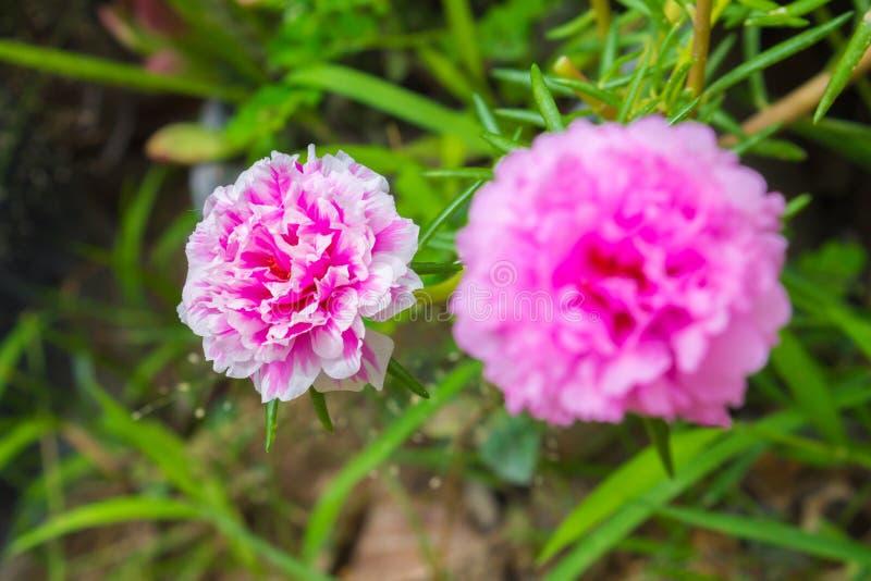 Flor de Portulaca foto de stock royalty free