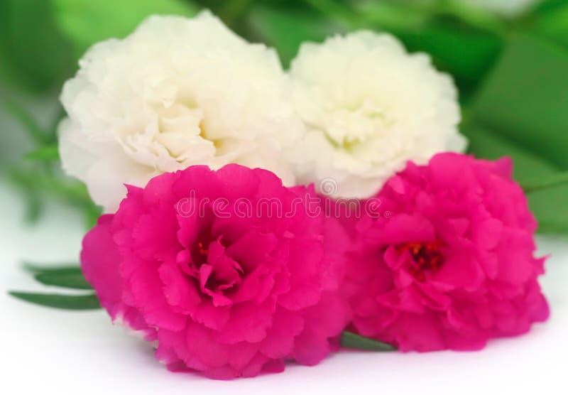 Flor de Portulaca imagens de stock
