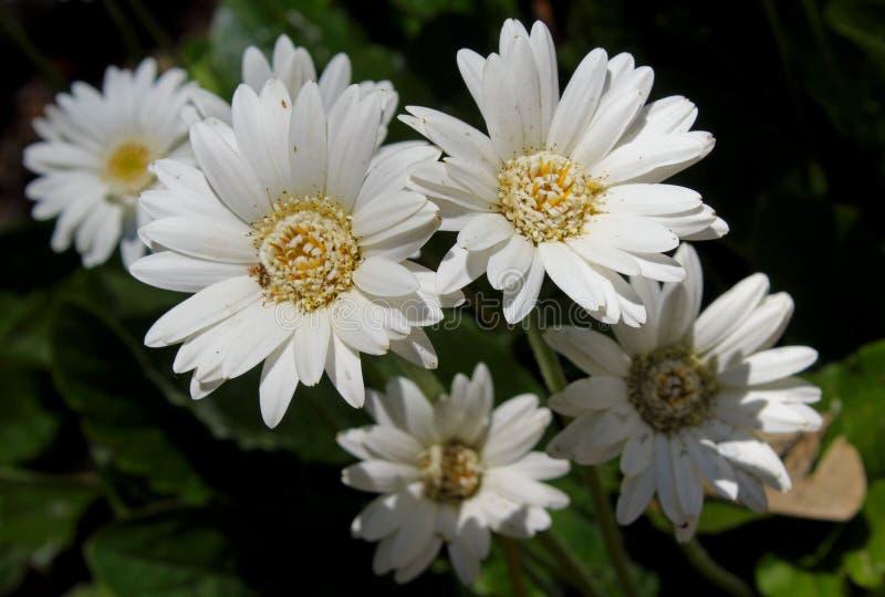 Flor de Ptarmicoides do áster, áster branco fotos de stock