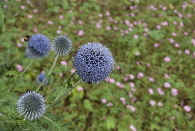 Flor de punta púrpura fotografía de archivo libre de regalías