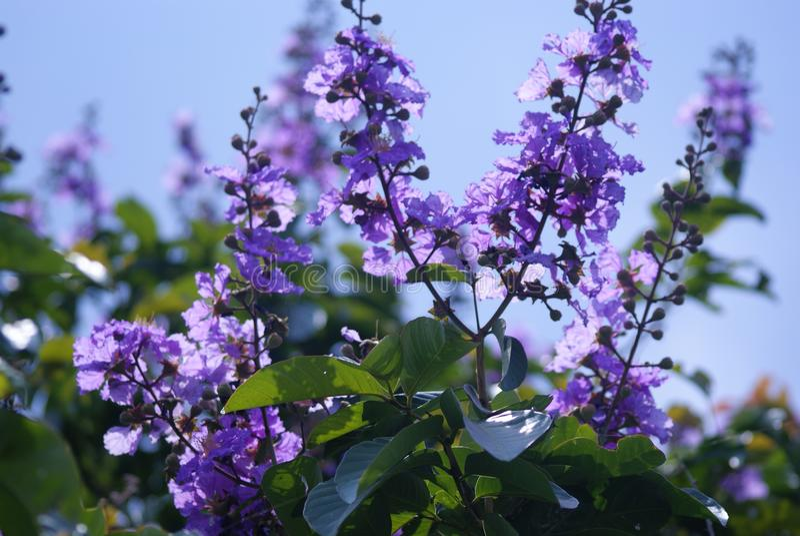 Flor de Purlpe endêmico de Indonésia imagens de stock