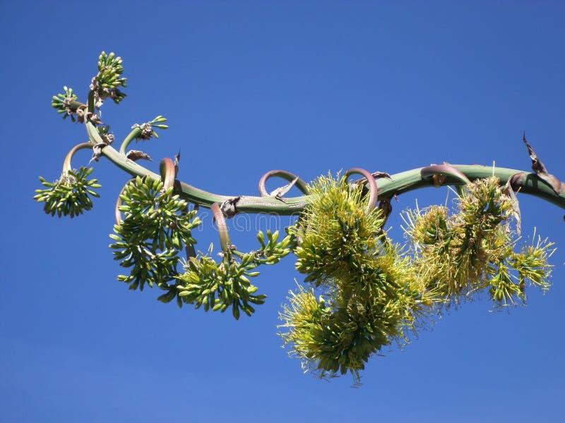 Flor de quiote стоковая фотография rf