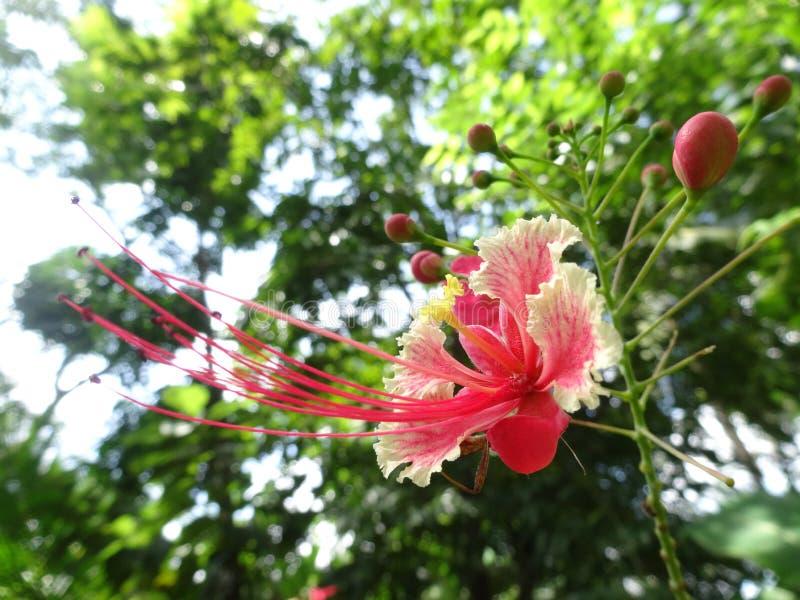 Flor de Rajamally imagens de stock