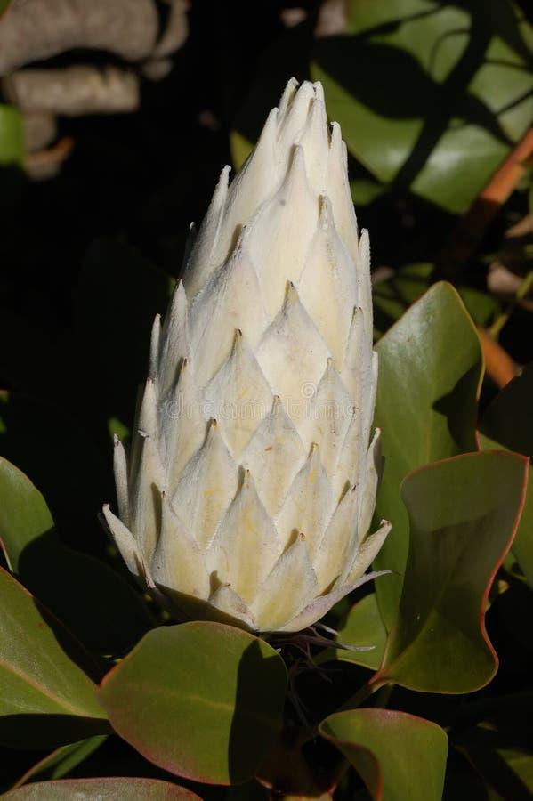 Flor de rey Protea imagen de archivo