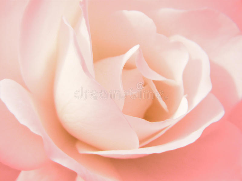 Flor de Rosa imagens de stock royalty free