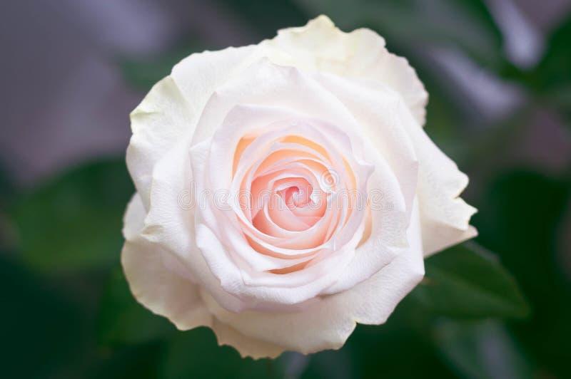 Flor de Rosa com as pétalas cor-de-rosa no meio do quadro com uma opinião superior borrada do fundo verde fotos de stock