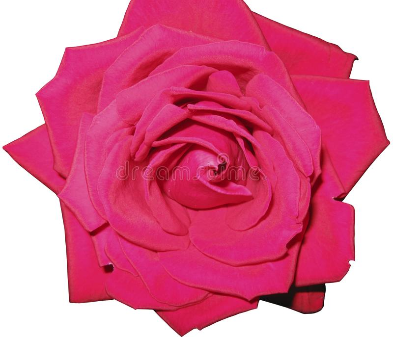 Flor de Rosa em um fundo transparente imagem de stock