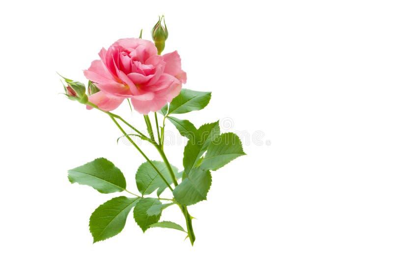Flor de Rosa em um ramo com folhas e botões foto de stock royalty free