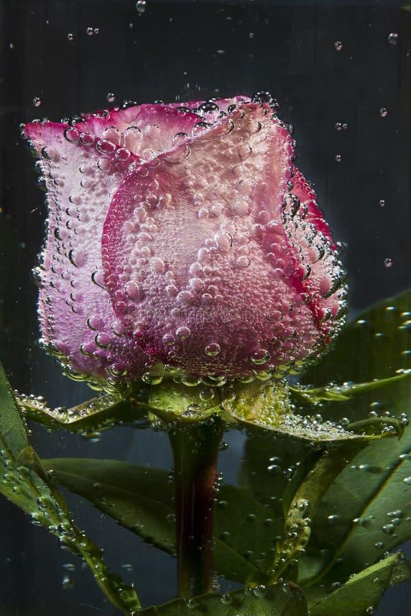 Flor de Rosa na água imagem de stock royalty free