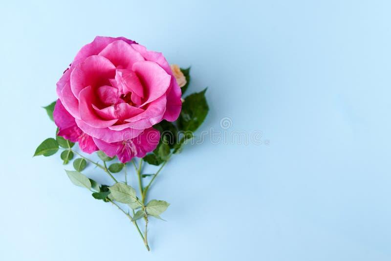 Flor de Rosa no fundo azul pastel Dia de Valentim, dia de mães, o dia das mulheres, conceito do verão da mola Configura??o lisa,  fotografia de stock royalty free